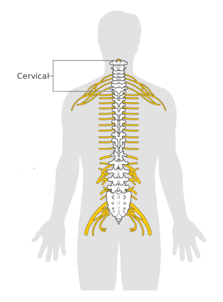 Graphical model of Human 'spinal cervical'