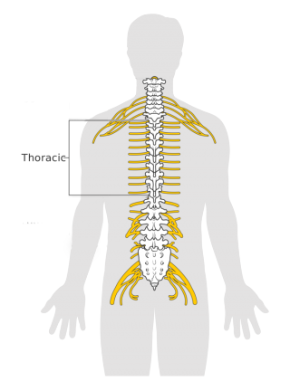 Graphical model of Human 'spinal thoracic'