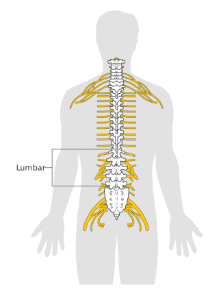 A human 'lumbar' is explanation in the picture
